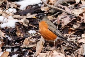 Robin spring