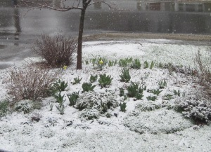 Spring blubs with snow