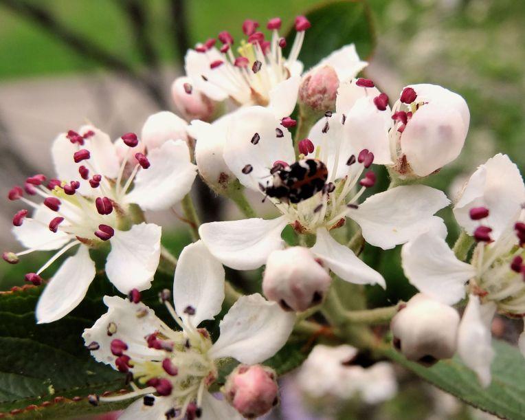 Parenthesis Lady Beetle (Hippodamia parenthesis)