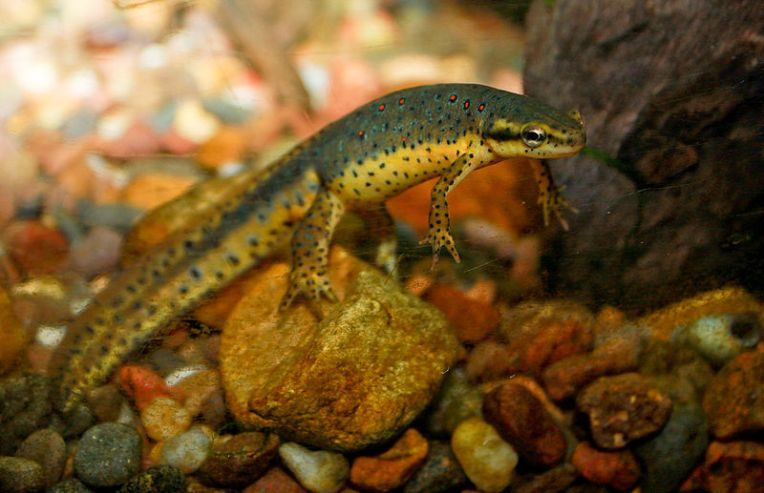 800px-Redspotted_newt