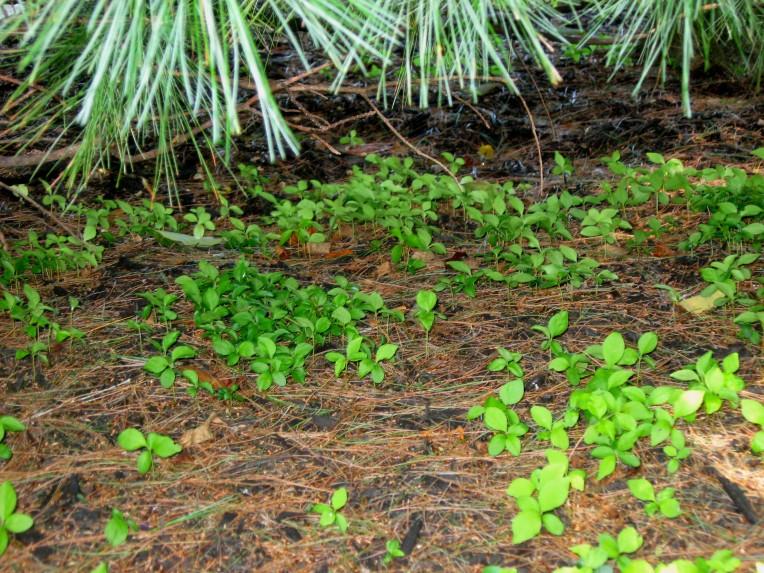 Bittersweet seeding2