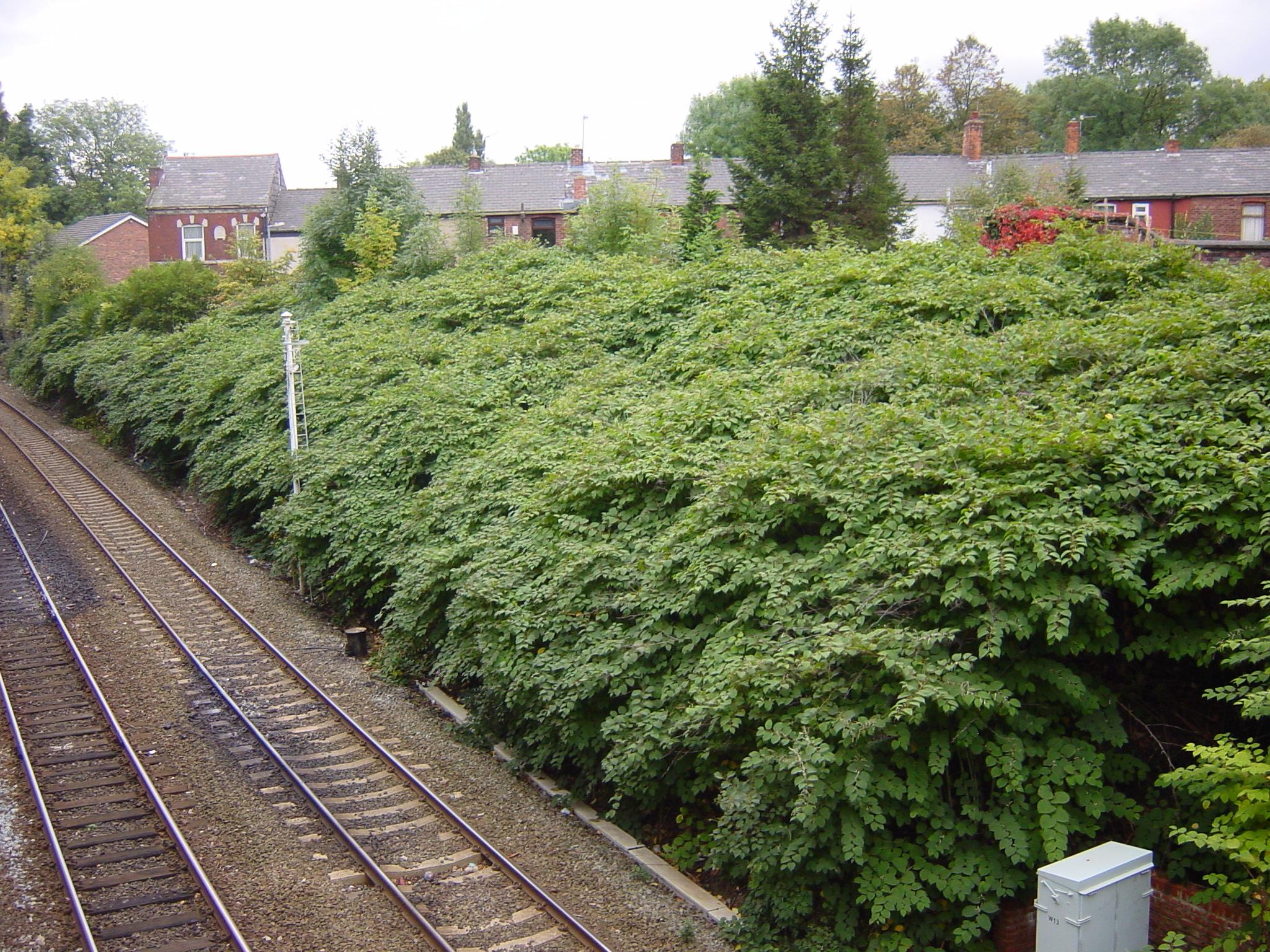 japanese-knotweed-14a