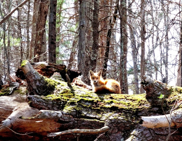 Red fox sunning itself