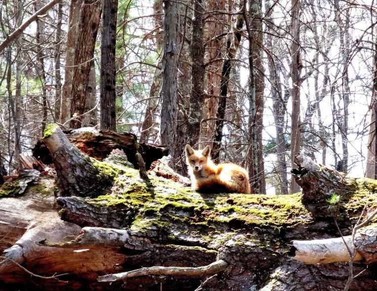 Red fox sunning itself